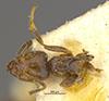 http://mczbase.mcz.harvard.edu/specimen_images/entomology/large/MCZ-ENT00021355_Azteca_ulei_var_cordiae_had.jpg