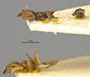 http://mczbase.mcz.harvard.edu/specimen_images/entomology/large/MCZ-ENT00021355_Azteca_ulei_var_cordiae_hala.jpg