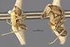 http://mczbase.mcz.harvard.edu/specimen_images/entomology/large/MCZ-ENT00021356_Azteca_ulei_nigricornis_hala.jpg
