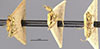 http://mczbase.mcz.harvard.edu/specimen_images/entomology/large/MCZ-ENT00021359_Azteca_virens_hala.jpg