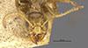http://mczbase.mcz.harvard.edu/specimen_images/entomology/large/MCZ-ENT00021359_Azteca_virens_hef.jpg