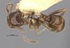 http://mczbase.mcz.harvard.edu/specimen_images/entomology/large/MCZ-ENT00021361_Azteca_xanthochroa_salti_had.jpg