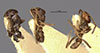 http://mczbase.mcz.harvard.edu/specimen_images/entomology/large/MCZ-ENT00021361_Azteca_xanthochroa_salti_hala.jpg
