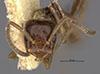 http://mczbase.mcz.harvard.edu/specimen_images/entomology/large/MCZ-ENT00021361_Azteca_xanthochroa_salti_hef.jpg