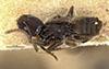 http://mczbase.mcz.harvard.edu/specimen_images/entomology/large/MCZ-ENT00021383_Tapinoma_opacum_hadb.jpg