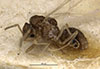 http://mczbase.mcz.harvard.edu/specimen_images/entomology/large/MCZ-ENT00021433_Brachymyrmex_brevicornis_halb.jpg