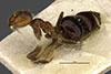 http://mczbase.mcz.harvard.edu/specimen_images/entomology/large/MCZ-ENT00021434_Brachymyrmex_coactus_var_robustus_hala.jpg