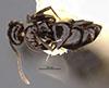 http://mczbase.mcz.harvard.edu/specimen_images/entomology/large/MCZ-ENT00021436_Brachymyrmex_gagates_hada.jpg