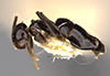 http://mczbase.mcz.harvard.edu/specimen_images/entomology/large/MCZ-ENT00021436_Brachymyrmex_gagates_halb.jpg