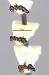 http://mczbase.mcz.harvard.edu/specimen_images/entomology/large/MCZ-ENT00021436_Brachymyrmex_gagates_halc.jpg