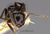 http://mczbase.mcz.harvard.edu/specimen_images/entomology/large/MCZ-ENT00021436_Brachymyrmex_gagates_hefa.jpg