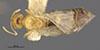 http://mczbase.mcz.harvard.edu/specimen_images/entomology/large/MCZ-ENT00021438_Brachymyrmex_pictus_balboae_had.jpg