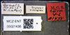 http://mczbase.mcz.harvard.edu/specimen_images/entomology/large/MCZ-ENT00021438_Brachymyrmex_pictus_balboae_lbs.jpg