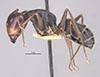 http://mczbase.mcz.harvard.edu/specimen_images/entomology/large/MCZ-ENT00021447_Camponotus_japonicus_var_miltotus_hala.jpg