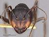 http://mczbase.mcz.harvard.edu/specimen_images/entomology/large/MCZ-ENT00021447_Camponotus_japonicus_var_miltotus_hefa.jpg