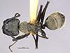 http://mczbase.mcz.harvard.edu/specimen_images/entomology/large/MCZ-ENT00021448_Camponotus_punctuatissimus_had.jpg