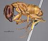 http://mczbase.mcz.harvard.edu/specimen_images/entomology/large/MCZ-ENT00021452_Camponotus_maculatus_sansabeanus_var_torrefactus_hal.jpg