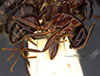 http://mczbase.mcz.harvard.edu/specimen_images/entomology/large/MCZ-ENT00021453_Camponotus_maculatus_vicinus_var_infernalis_hal.jpg