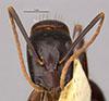 http://mczbase.mcz.harvard.edu/specimen_images/entomology/large/MCZ-ENT00021453_Camponotus_maculatus_vicinus_var_infernalis_hef.jpg