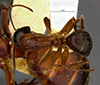 http://mczbase.mcz.harvard.edu/specimen_images/entomology/large/MCZ-ENT00021454_Camponotus_maculatus_vicinus_var_luteangulus_had.jpg