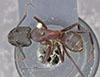 http://mczbase.mcz.harvard.edu/specimen_images/entomology/large/MCZ-ENT00021456_Camponotus_maculatus_vicinus_var_plorabilis_had.jpg