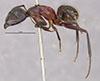 http://mczbase.mcz.harvard.edu/specimen_images/entomology/large/MCZ-ENT00021456_Camponotus_maculatus_vicinus_var_plorabilis_hal.jpg