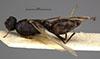 http://mczbase.mcz.harvard.edu/specimen_images/entomology/large/MCZ-ENT00021460_Camponotus_punctulatus_imberbis_had.jpg