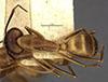http://mczbase.mcz.harvard.edu/specimen_images/entomology/large/MCZ-ENT00021465_Camponotus_fumidus_var_spurcus_had.jpg