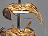 http://mczbase.mcz.harvard.edu/specimen_images/entomology/large/MCZ-ENT00021465_Camponotus_fumidus_var_spurcus_hala.jpg