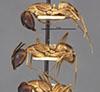 http://mczbase.mcz.harvard.edu/specimen_images/entomology/large/MCZ-ENT00021465_Camponotus_fumidus_var_spurcus_halb.jpg