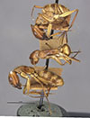 http://mczbase.mcz.harvard.edu/specimen_images/entomology/large/MCZ-ENT00021466_Camponotus_maculatus_dominicensis_hala.jpg