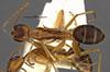 http://mczbase.mcz.harvard.edu/specimen_images/entomology/large/MCZ-ENT00021470_Camponotus_maculatus_lucayanus_var_tephronotus_had.jpg
