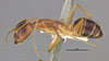 http://mczbase.mcz.harvard.edu/specimen_images/entomology/large/MCZ-ENT00021470_Camponotus_maculatus_lucayanus_var_tephronotus_halb.jpg