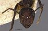 http://mczbase.mcz.harvard.edu/specimen_images/entomology/large/MCZ-ENT00021472_Camponotus_goeldii_hefa.jpg