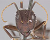 http://mczbase.mcz.harvard.edu/specimen_images/entomology/large/MCZ-ENT00021475_Camponotus_maculatus_simillimus_var_flavopubens_hef.jpg