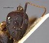 http://mczbase.mcz.harvard.edu/specimen_images/entomology/large/MCZ-ENT00021476_Camponotus_maculatus_picipes_var_pilosula_hef.jpg