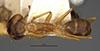 http://mczbase.mcz.harvard.edu/specimen_images/entomology/large/MCZ-ENT00021478_Camponotus_inaequalis_var_ramulorum_had.jpg