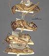 http://mczbase.mcz.harvard.edu/specimen_images/entomology/large/MCZ-ENT00021478_Camponotus_inaequalis_var_ramulorum_hala.jpg