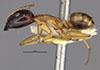 http://mczbase.mcz.harvard.edu/specimen_images/entomology/large/MCZ-ENT00021486_Camponotus_maculatus_radamae_hala.jpg