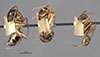 http://mczbase.mcz.harvard.edu/specimen_images/entomology/large/MCZ-ENT00021488_Camponotus_maculatus_miserabilis_var_pessima_hala.jpg