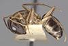 http://mczbase.mcz.harvard.edu/specimen_images/entomology/large/MCZ-ENT00021488_Camponotus_maculatus_miserabilis_var_pessima_halb.jpg