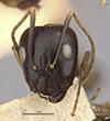 http://mczbase.mcz.harvard.edu/specimen_images/entomology/large/MCZ-ENT00021488_Camponotus_maculatus_miserabilis_var_pessima_hefa.jpg