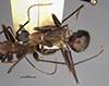 http://mczbase.mcz.harvard.edu/specimen_images/entomology/large/MCZ-ENT00021489_Camponotus_pompeius_cassius_had.jpg