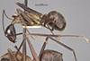 http://mczbase.mcz.harvard.edu/specimen_images/entomology/large/MCZ-ENT00021489_Camponotus_pompeius_cassius_hala.jpg