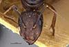 http://mczbase.mcz.harvard.edu/specimen_images/entomology/large/MCZ-ENT00021490_Camponotus_negus_thraso_var_nefasitensis_hefa.jpg