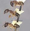 http://mczbase.mcz.harvard.edu/specimen_images/entomology/large/MCZ-ENT00021491_Camponotus_maculatus_taylori_var_formosae_halc.jpg