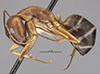 http://mczbase.mcz.harvard.edu/specimen_images/entomology/large/MCZ-ENT00021492_Camponotus_devestitus_hal.jpg