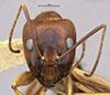 http://mczbase.mcz.harvard.edu/specimen_images/entomology/large/MCZ-ENT00021492_Camponotus_devestitus_hef.jpg
