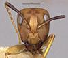 http://mczbase.mcz.harvard.edu/specimen_images/entomology/large/MCZ-ENT00021493_Camponotus_incensus_hef.jpg