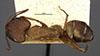 http://mczbase.mcz.harvard.edu/specimen_images/entomology/large/MCZ-ENT00021505_Camponotus_cingulatus_var_bambusarum_had.jpg
